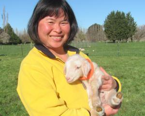 Jacy Ramsay with one of the milking ewes' 1-day-old lamb. Photo: Toni Williams