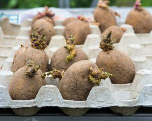 Chitting potatoes - the process of laying seed potatoes out in a dry, airy place out of direct...