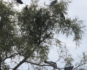 Kereru flock to a kowhai tree in Maori Hill, in Dunedin. PHOTO: CATHY THOMSON