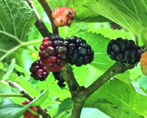 Mulberries look rather like blackberries but they are not related. Photo: Bettina Vine