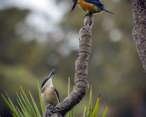 The winning photograph, titled Pair of Kingfishers. Photo: Jack Aubin