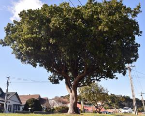 The strawberry tree on a berm near the junction of Tainui Rd and Lochend St in Dunedin makes a...