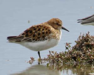"A rare bird, named ""little stint"", was spotted in Birdlings Flat 12,000km from its home in the..."
