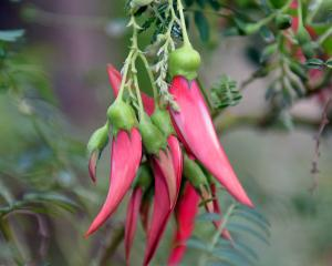 Clianthus puniceus, today also called kaka beak. Photo: Gregor Richardson