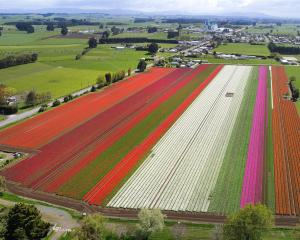 Tulips in full bloom at a farm in Edendale yesterday. Nearby Triflor NZ is having its annual open...