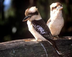 Kookaburras are among the birdlife on the trail. Photo by Tourism Queensland.
