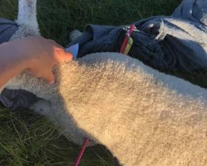 The lamb was injured after being shot by an arrow. Photo: Facebook