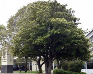 This healthy lemonwood tree grows in a footpath beside the entrance to the University of Otago on...