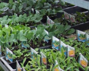Sales of vegetable seeds, seedlings and gardening products have increased in Timaru in the past...