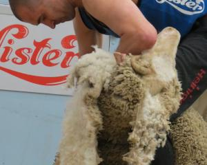 Invercargill shearer Nathan Stratford not only placed third in the New Zealand Open Merino...