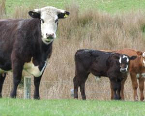 This Angus cow, near Alexandra, gave birth to bull calf twins last month, which is uncommon....