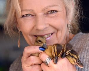 Bird Rescue Dunedin founder Sue Cook with some of the 152 orphaned ducklings brought to her this...