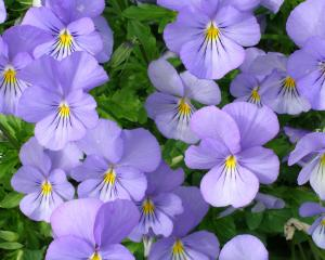 Violas have little flavour but are very decorative.