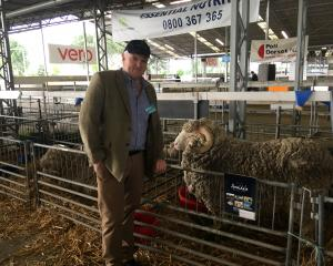 Scottish farmer and cattle judge John Scott admires Merino sheep entered by the Armidale Sheep...