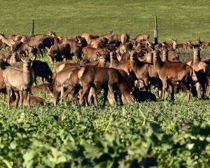 Red deer graze on winter feed near the Remarkables skifield road. PHOTO: STEPHEN JAQUIERY