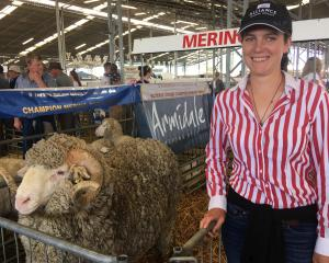 Harriet Gardner checks out one of Armidale's merino entries at last week's New Zealand...