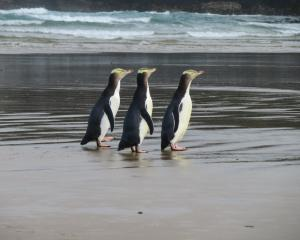 A grant of $500,000 will go to three Otago projects supporting the nationally endangered hoiho ...