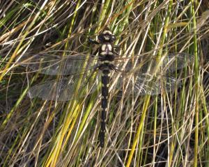 Giant alpine  dragonfly