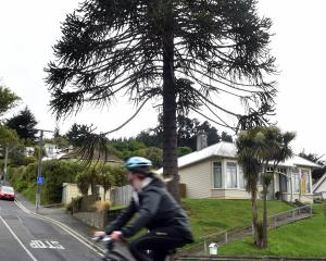 This reptilian giant is a monkey puzzle tree growing at the corner of North Rd and Birchfield Ave...