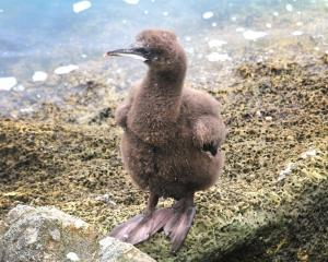 In November, Otago shag chicks, like this one, can and do fall off Sumpter Wharf before they are...
