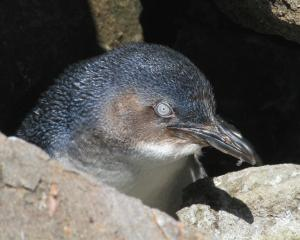 After five weeks at the Oamaru Blue Penguin Colony's rehabilitation centre, the last of five...