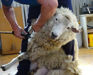 A pet sheep goes in for her annual haircut by a professional, before Queenstown reporter Tracey...