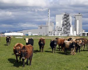 Cattle graze in front of the Danone Nutricia plant in South Otago. Photo: Stephen Jaquiery