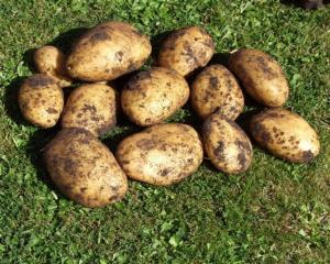 in_season_tartiflette__potatoes_bacon_onion_and_ch_4caab28ae3.JPG