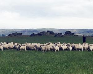 John Templeton shifts ewes and lambs at The Rocks Station, near Middlemarch. Photos: Sally Rae