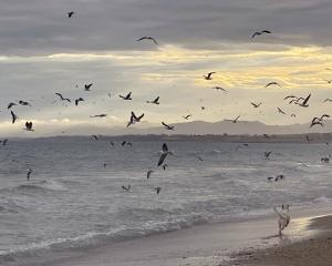 Hundreds of seabirds, including red-billed gulls and white-fronted terns, converge on a beach...