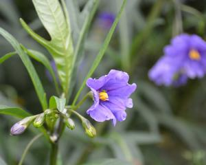 Poroporo (Solanum laciniatum). Photo: Peter Dowden