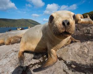A five-year plan started in 2017 aims to stabilise and grow the New Zealand sea lion population....