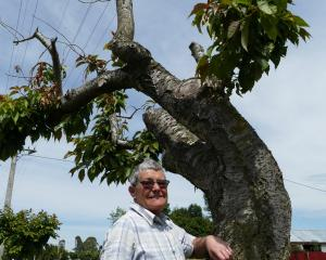 Tapanui resident Faye Barlow says ageing civic trees on the town's berms, like this flowering...