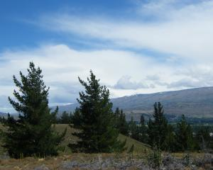 Wilding pines have been one of the issues tackled by Federated Farmers high country section....