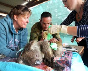 Volunteers at the Kangaroo Island Wildlife Zoo in South Australia treat a koala injured in the...