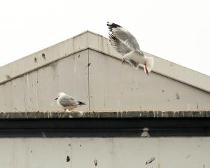 Two red-billed gulls join many others on a  building in Oamaru's Coquet St. PHOTO: REBECCA RYAN