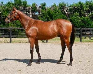 A colt by Ocean Park from dam Girls On Top, who will be sold at the national yearling sales....