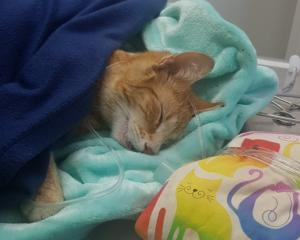 Pipsy after her operation. Photo: SPCA