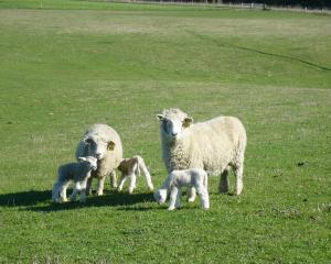 A drier autumn and reduced feed contributed to the average lambing percentage in Marlborough...