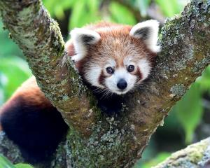 The recognition of the existence of two separate species of red panda could help guide...