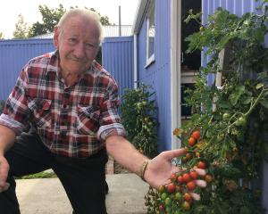 Bill Stewart's garden is bursting with delectable goodness like these Sweet 100s tomatoes.