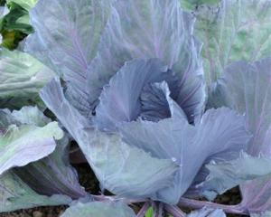 Lex Donaldson plants plenty of cabbage, particularly the red variety.