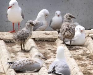 Plans are under way to  find a solution to cleaning the mess created by red-billed gulls in...