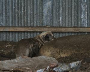 Matariki and her pup in a local farmer's hay shed. Photo: Supplied