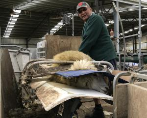 Bob Tamepo has worked his way through a career as a shearer, Corrections officer and now runs...