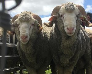 .Otago merino breeders will be hosting international and domestic visitors as part of the Merino...