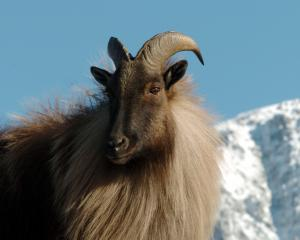Recreational hunters will be able to hunt tahr at  sites in the  Hooker/Landsborough Wilderness...