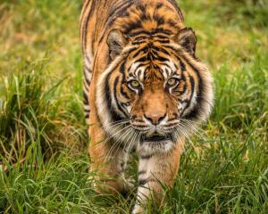 Dumai was the only tiger in the South Island. Photo: Orana Wildlife Park