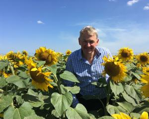 Turley Farms Roger Lasham inspects the sunflowers planted at the farm's Chertsey property. Photo:...