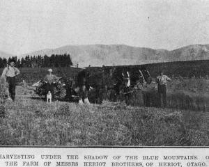 Harvesting under the shadow of the Blue Mountains on the Heriot brothers' farm, Heriot, Otago —...